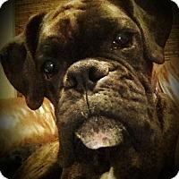 Adopt A Pet :: Zorro - Austin, TX