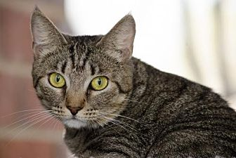 Domestic Shorthair Cat for adoption in Atlanta, Georgia - Mama Ladybug141565