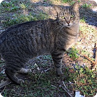 Domestic Mediumhair Cat for adoption in Naples, Florida - Huxley