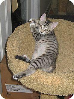 Domestic Shorthair Kitten for adoption in Tampa, Florida - Sebastian