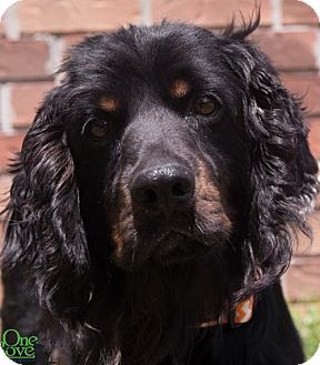 Cocker Spaniel Dog for adoption in Savannah, Georgia - Shakespeare