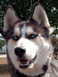 Siberian Husky Dog for adoption in Raleigh, North Carolina - Biggs - LOST