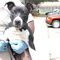 Pit Bull Terrier Mix Puppy for adoption in Greensboro, North Carolina - Jordina