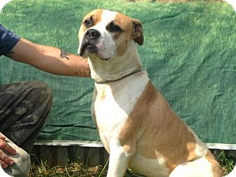 Boxer Mix Dog for adoption in Beckley, West Virginia - Batista