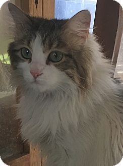 Maine Coon Cat for adoption in Sherman Oaks, California - Cleo