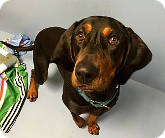 Bluetick Coonhound Mix Dog for adoption in Wilmington, Delaware - Cooper