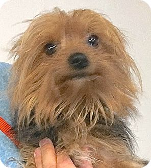 Yorkie, Yorkshire Terrier Dog for adoption in Lakewood, Colorado - Teddy