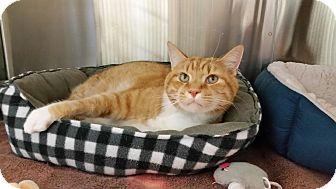 Domestic Shorthair Cat for adoption in Chambersburg, Pennsylvania - Martin