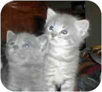 Domestic Shorthair Kitten for adoption in St. Charles, Missouri - Kittens / Cats