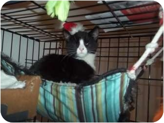 Domestic Shorthair Kitten for adoption in Little Neck, New York - CHELLY