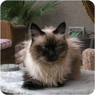 Himalayan Cat for adoption in Phoenix, Arizona - COCO