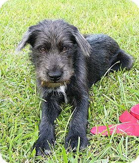 mulligan adopted dog mocksville nc schnauzer