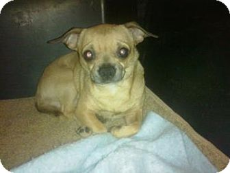 Chihuahua/Pug Mix Dog for adoption in Cumberland, Maryland - Haskal