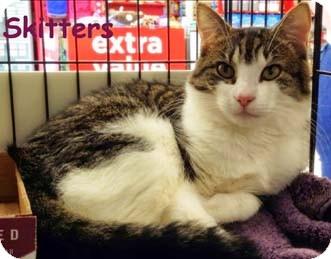 Domestic Shorthair Cat for adoption in Merrifield, Virginia - Skitters