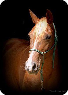 Arabian/Quarterhorse Mix for adoption in Nicholasville, Kentucky - Ruby