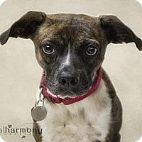 Adopt A Pet :: Brindy - Phoenix, AZ