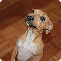 Adopt A Pet :: Dagne - Fountain, CO