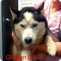 Adopt A Pet :: Gilligan - baltimore, MD