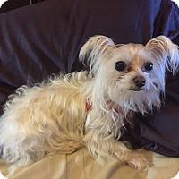 Adopt A Pet :: LIL'BIT - Los Angeles, CA