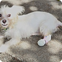 Adopt A Pet :: Rummie - nothing slows her! - Woonsocket, RI