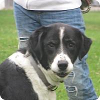 Adopt A Pet :: Sisu - Cokato, MN