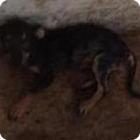 Adopt A Pet :: Prissy - Aurora, CO
