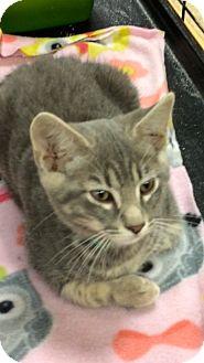 Domestic Shorthair Kitten for adoption in Warrenton, Missouri - Yogi