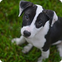 Border Collie/Boxer Mix Puppy for adoption in Lake Jackson, Texas - Bailey