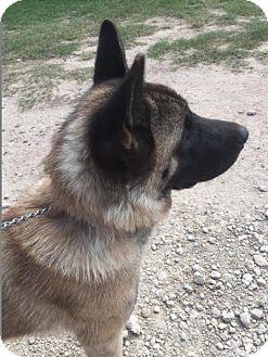 Akita Dog for adoption in Quinlan, Texas - Xena