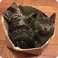 Adopt A Pet :: Asher and Milo - New York, NY