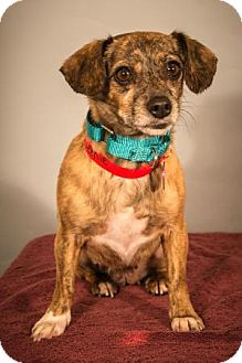 Dachshund/Chihuahua Mix Dog for adoption in Berkeley Heights, New Jersey - Queenie