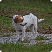 Adopt A Pet :: Holly - Lebanon, MO