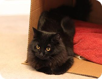 Domestic Shorthair Cat for adoption in Franklin, Tennessee - JUNIPER