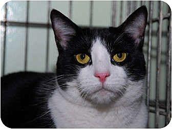 Domestic Shorthair Cat for adoption in New York, New York - Moira