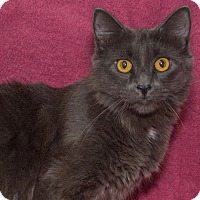 Domestic Mediumhair Cat for adoption in Elmwood Park, New Jersey - Misty