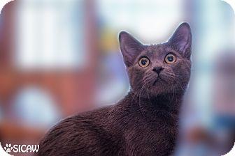 Domestic Shorthair Cat for adoption in Staten Island, New York - Little Gray