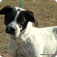 Blue Heeler/Great Pyrenees Mix Puppy for adoption in Waterbury, Connecticut - Popcorn