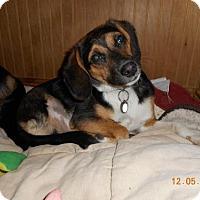 Adopt A Pet :: Copper - Rockville, MD