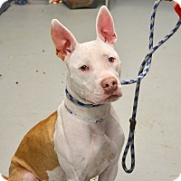 Adopt A Pet :: Bacardi - Yonkers, NY