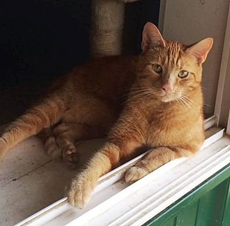 Domestic Shorthair Cat for adoption in Transfer, Pennsylvania - Oliver