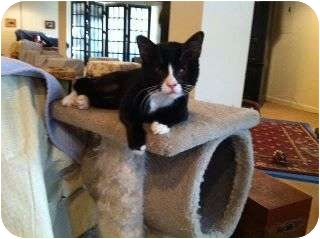 Domestic Shorthair Cat for adoption in Columbia, Maryland - Bocelli
