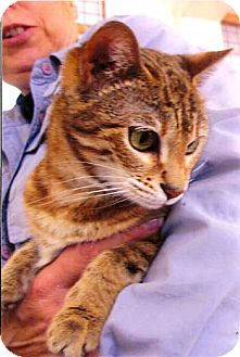 Bengal Cat for adoption in Davis, California - Maia