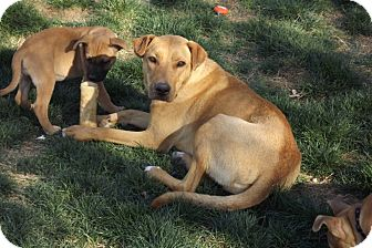 Labrador Retriever/Carolina Dog Mix Dog for adoption in Phoenix, Arizona - Josie
