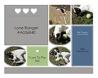 Rat Terrier Mix Dog for adoption in Lufkin, Texas - Lone Ranger
