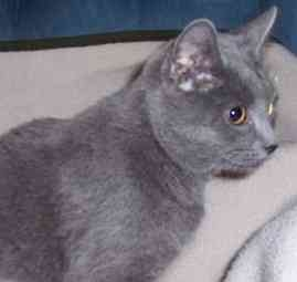 Domestic Shorthair Cat for adoption in Feeding Hills, Massachusetts - Sophia