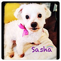 Adopt A Pet :: Sasha - Toronto, ON