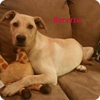 Adopt A Pet :: Barretta - IN CT - Manchester, CT