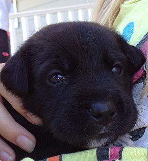 Labrador Retriever/German Shepherd Dog Mix Puppy for adoption in Long Beach, California - Maggie