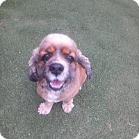 Adopt A Pet :: Copper - Alpharetta, GA
