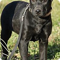 Adopt A Pet :: Amelia - Spring Valley, NY